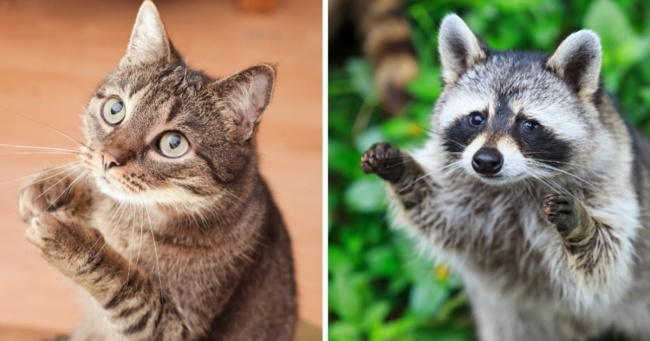 15 photos proving that cats and raccoons have more in common than we thought